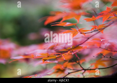 Japanese maple (Acer palmatum) detail in autumn colors at Daisen-in Temple, Daitokuji Temple, Kyoto, Kansai Region, Japan - Stock Image