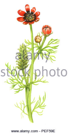 summer adonis roses adonis aestivalis - Stock Image