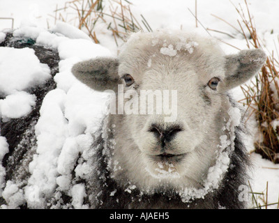 Sheep in snow - Stock Image