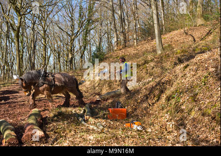 Horse logging in a beech woodland near Talgarth Powys Wales UK. Horses are used to pull logs out of difficult terrain inaccessible for vehicles. - Stock Image