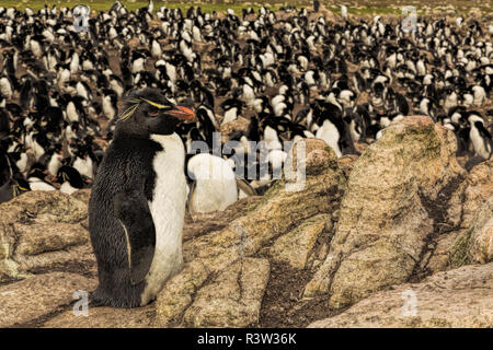 Rockhopper breeding colony, Pebble Island, Falkland Islands, Eudyptes chrysocome - Stock Image