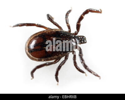 Castor Bean tick (Ixodes Ricinus) on a white background - Stock Image