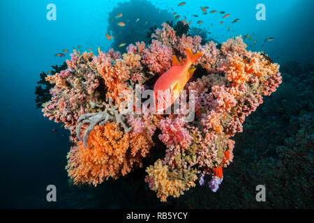 Longjaweed Squirrelfish in Coral Reef, Sargocentron spiniferum, Indian Ocean, Maldives - Stock Image