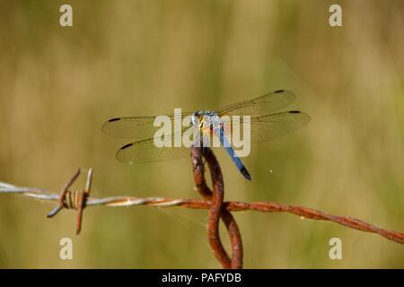 Dragonfly (Anisoptera) on fence - Stock Image