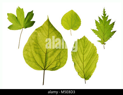 Isolated leaves of trees - hedge maple, katsura tree, hazel, northern catalpa, american witchhazel - Stock Image