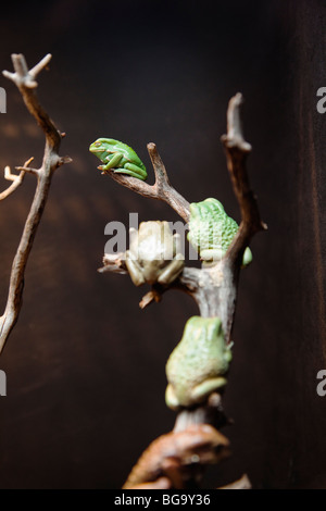 Waxy monkey tree frogs (captive), California Academy of Sciences, Golden Gate Park, San Francisco, California, USA - Stock Image