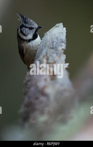 Crested tit in Abernethy Forest, Cairngorms National Park, Scotland - Stock Image