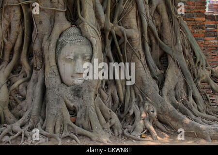 Thalland, Ayutthaya, Head of Buddha between boughs of tree - Stock Image