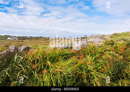 Montbretia (Crocosmia x crocosmiiflora) in flower at Omey Strand, Connemara, County, Galway, Ireland - Stock Image