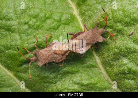 Pair of mating Dock Bugs (Coreus marginatus) on plant leaf. Tipperary, Ireland - Stock Image