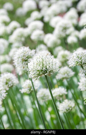 Allium 'Mont Blanc' at RHS Wisley gardens. - Stock Image