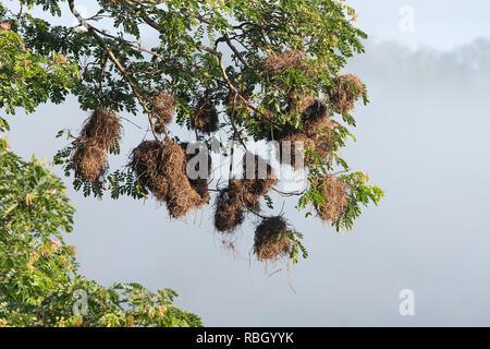 Metallic Starlings or Shining Starlings (Aplonis metallica) nests, Daintree National Park, Far North Queensland, FNQ, QLD, Australia - Stock Image