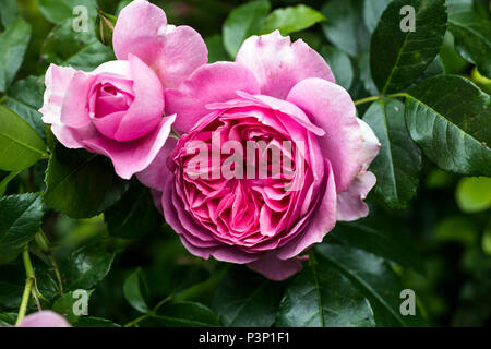 Beautiful and complex pink roses growing in a garden in summer - Stock Image