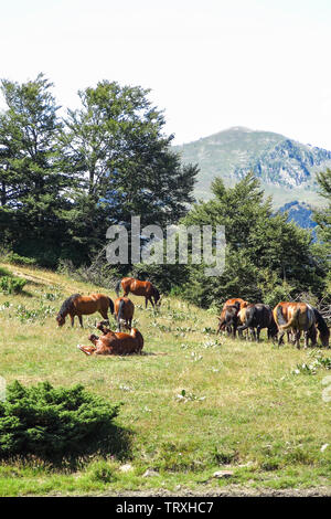 Wild horses in Aran valley in the Catalan Pyrenees, Spain - Stock Image