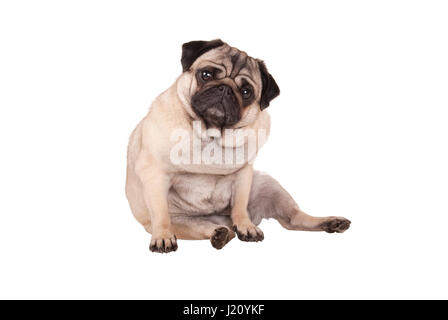 adorable cute pug puppy dog sitting down, isolated on white background - Stock Image