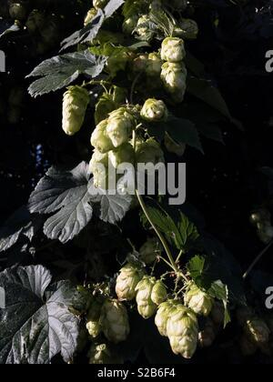 Hop plant growing wild and flowering in a hedgerow. - Stock Image