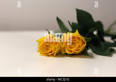 Two bright yellow flowers on a white table. Beautiful and fragile flowers, perfect for spring or Easter! - Stock Image
