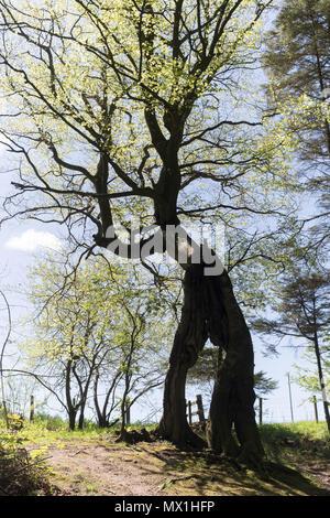The walking tree, The Haining estate, Selkirk, Scotland, UK - Stock Image