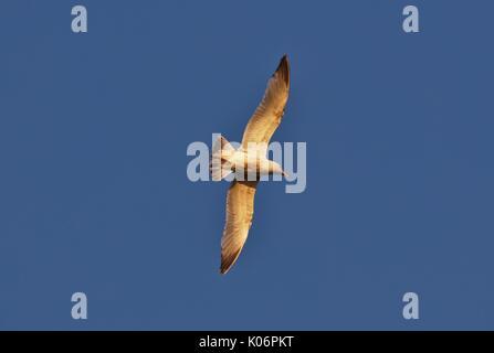 Common seagull (larus canus) in flight - Stock Image