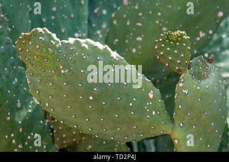 Opuntia, commonly called prickly pear, is a genus in the cactus family, Cactaceae photographed in a Cactus and succulent garden Photographed in Tel Av - Stock Image