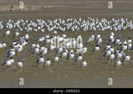 Wintering flock of Pallas's gulls (Larus ichthyaetus) - previously known as great balck-headed gull, at a drained - Stock Image