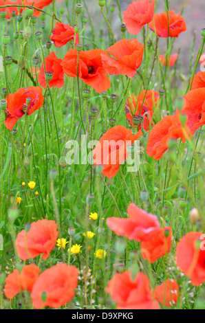 Field with red poppies detail - Stock Image