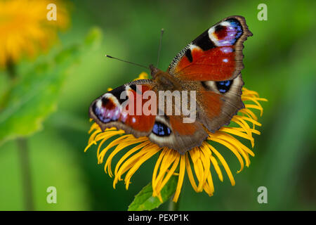 European Peacock butterfly sitting on a yellow flower with green background in a summer time and sunny day - Stock Image
