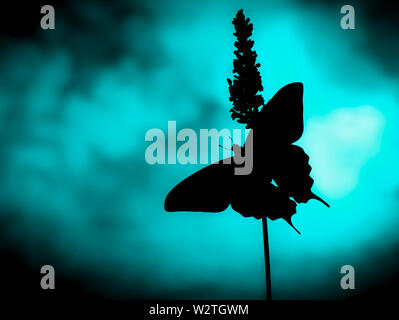 The silhouette of a swallowtail butterfly (papilio rutulus) with wings spread  - on a blue background - Stock Image