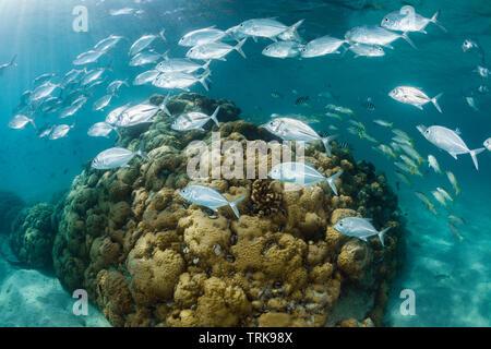 Shoal of Bigeye Trevally, Caranx sexfasciatus, Lissenung, New Ireland, Papua New Guinea - Stock Image