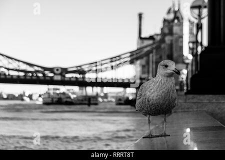 City seagull waiting for food from tourists standing on a ledge in front of Tower Bridge, London, UK - Stock Image