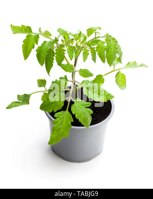 Tomato  plant in a pot isolated on a white - Stock Image