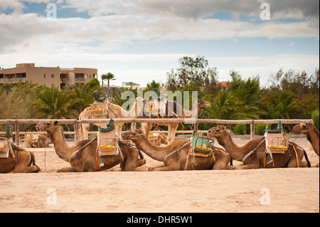 camel train resting at watering hole - Stock Image