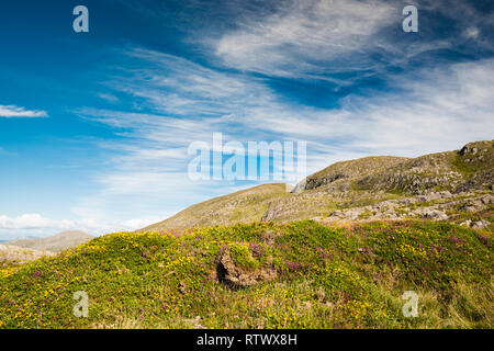 The Slieve Miskish Mountains in the Beara Peninsula, County Cork, Ireland, with flowering heather and Atlantic or western Gorse - Stock Image