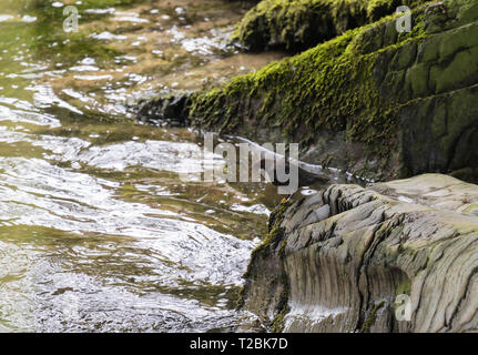 Dipper (Cinclus cinclus) it's bill laden with nesting material, Gilfach nature reserve Powys UK. March 2019. - Stock Image