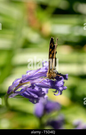 Looking down on a speckled wood butterfly ( Pararge aegeria) resting on bluebell flower heads in spring - Stock Image