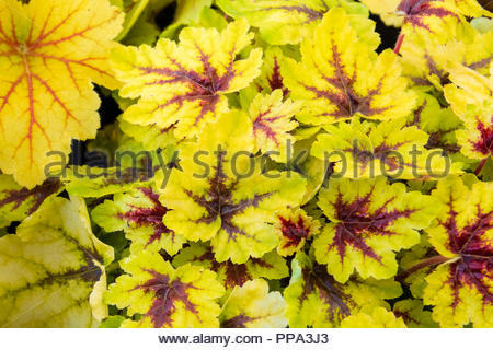 Heuchera garden plant named after 18th century physician Johann Heinrich Von Heucher. - Stock Image