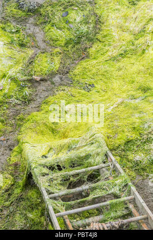 Metal ladder leading down to algae strewn mud flat of an estuarine tidal river. Tide out. - Stock Image