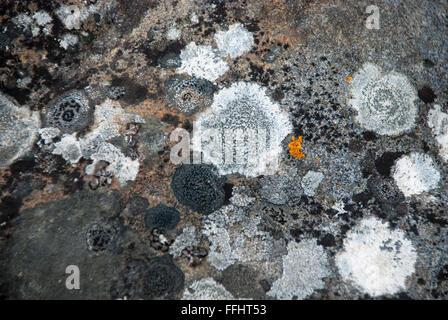 Grey and white rock lichen with a spot of orange Rock Jewel Lichen, Caloplaca saxicola, Krossfjord, Svalbard Archipelago, - Stock Image