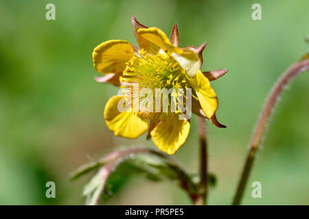 Hybrid Avens (geum x intermedium), a close up of the flower. The plant and buds look like Water Avens but the flowers open up like Wood Avens. - Stock Image