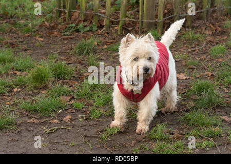 West Highland white terrier dog (westie) wearing a red winter coat - Stock Image