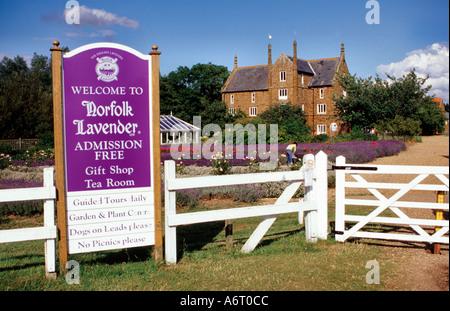 Norfolk Lavender West Norfolk England UK - Stock Image