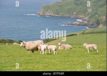 Sheep Grazing, Devon, UK. - Stock Image