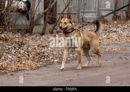 Red-haired mixed dog with the mistress walks in the park. Portrait of a red dog on the street - Stock Image