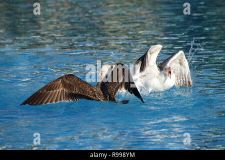 Juvenile seagulls arguing and fighting in a swimming pool - Stock Image