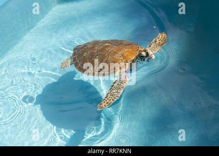 Isolated Hawksbill Marine Sea Turtle Swimming in Transparent Shallow Water on Caribbean Tropical Beach of Cayo Largo Del Sur Island in Cuba - Stock Image