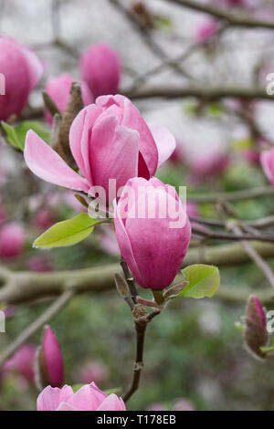 Magnolia 'Ian's Red' flowers. - Stock Image