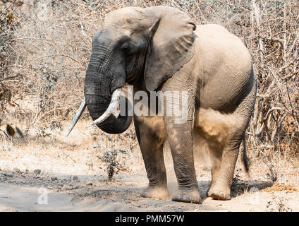 Solitary African Bush Elephant dust bathing, South Luangwa, Zambia - Stock Image