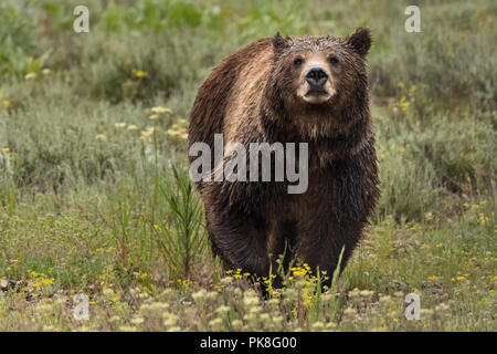 Face View of Grizzly Bear in Summer Field - Stock Image