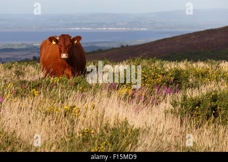 Red Devon cattle grazing, free range, on the Quantock hills. - Stock Image