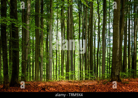 Beech forest in summer day - Stock Image